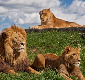 A family of three lions lying on a green grass