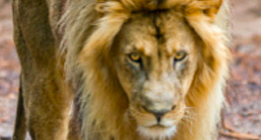 The face of a lion