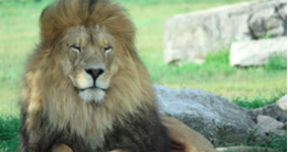 Lion sitting in the grass