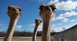 Three ostrich heads