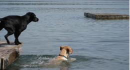 Dogs swimming in a lake