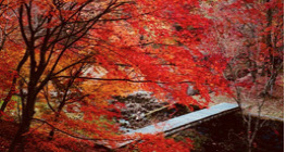Red coloured fall leaves