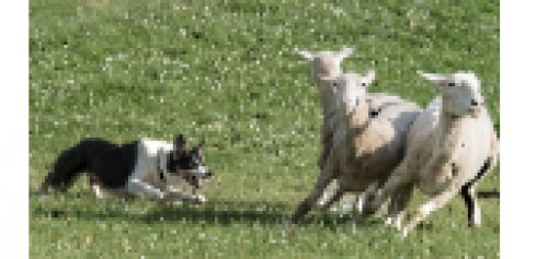 Kingston Sheep Dog Trials Festival-event-photo
