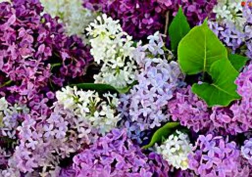 Warkworth Lilac Festival-event-photo