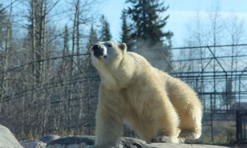 The Cochrane Polar Bear Habitat in Cochrane - Animals & Zoos in  Summer Fun Guide